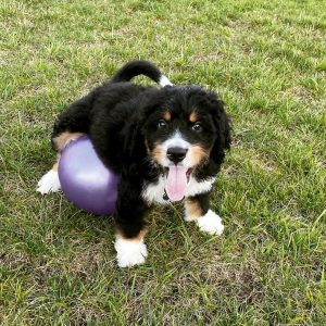Bernedoodle Buddies of Ohio Breeder