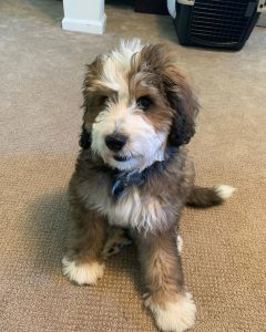 Bernedoodle puppies in Ohio
