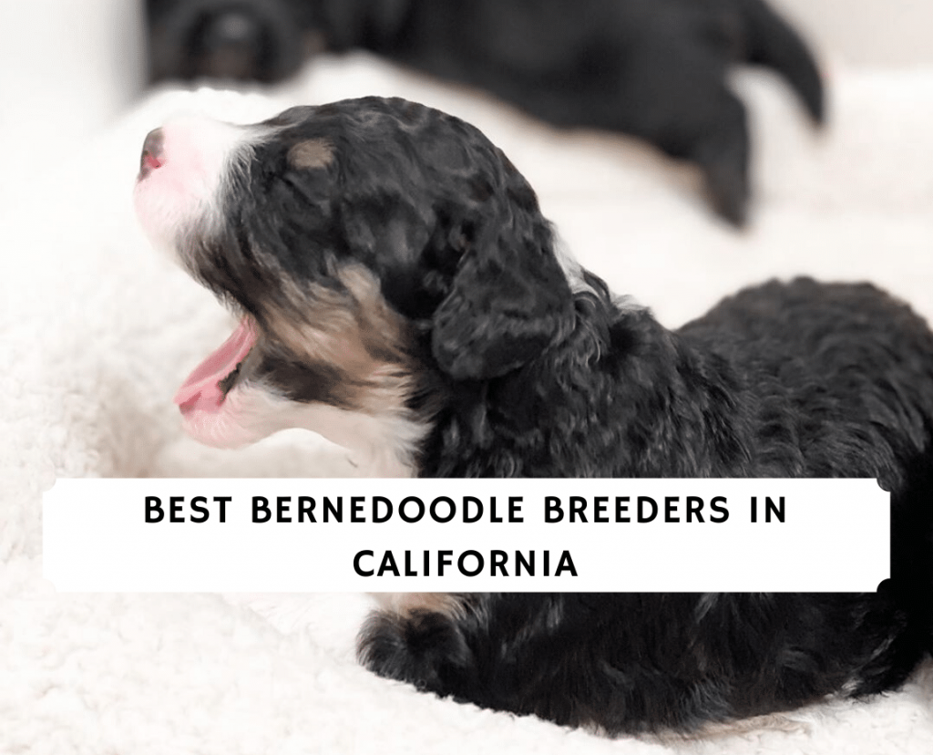Best Bernedoodle Breeders in California