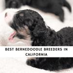 Best Bernedoodle Breeders in California
