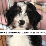 Best Bernedoodle Breeders in Ohio