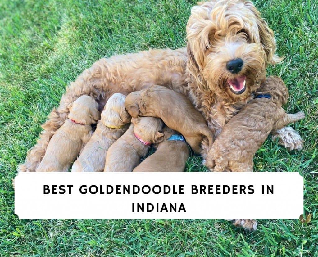 Best Goldendoodle Breeders in Indiana