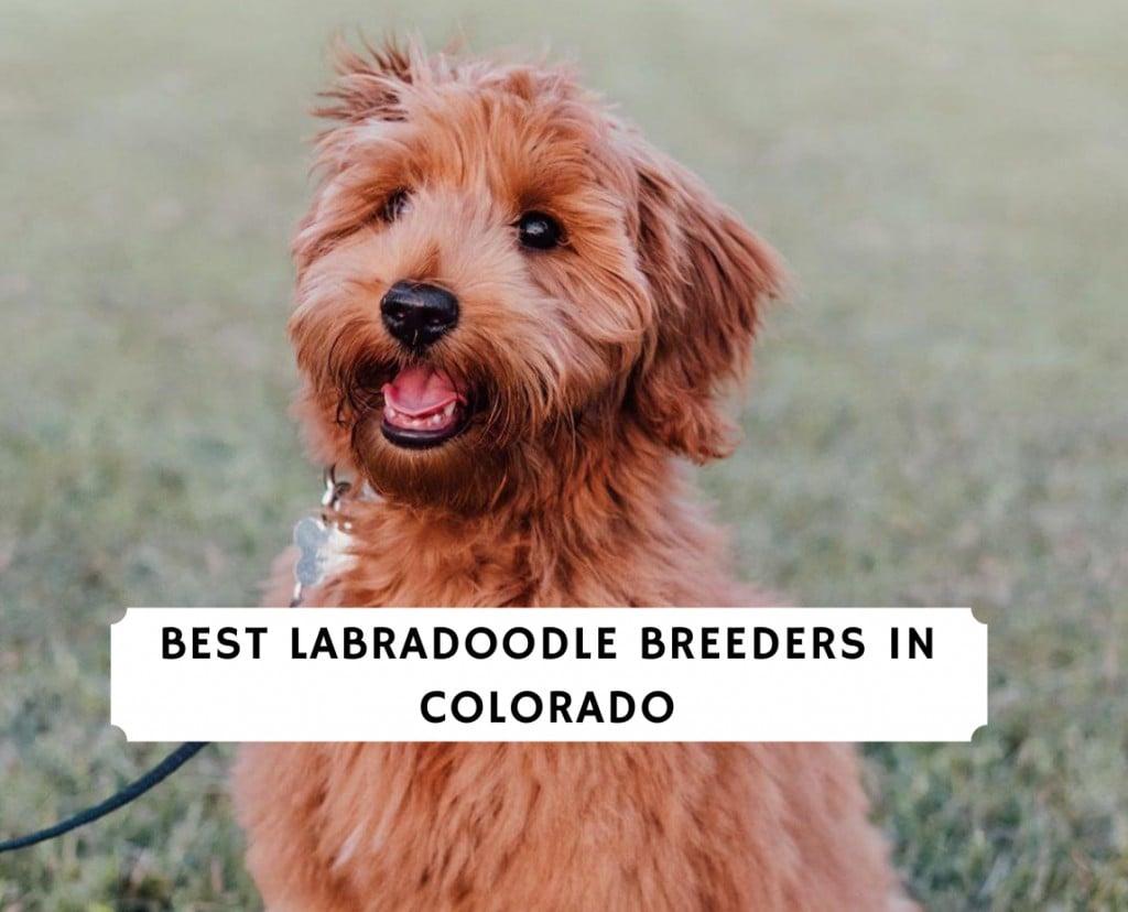 Best Labradoodle Breeders in Colorado