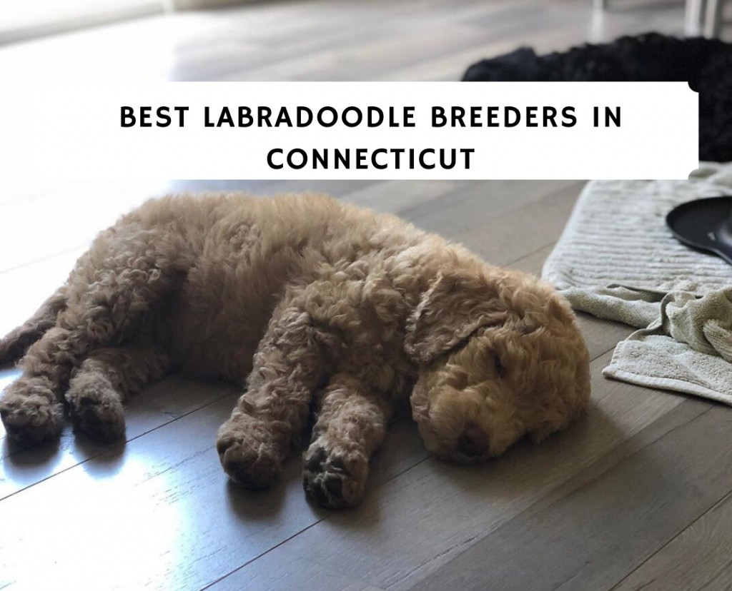 Best Labradoodle Breeders in Connecticut