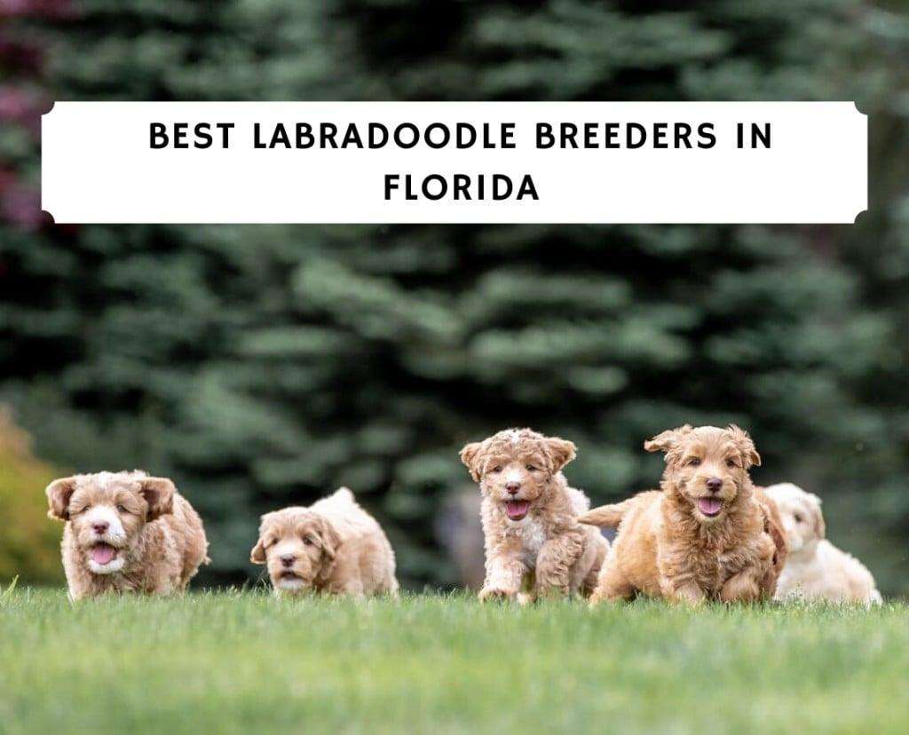 Best Labradoodle Breeders in Florida