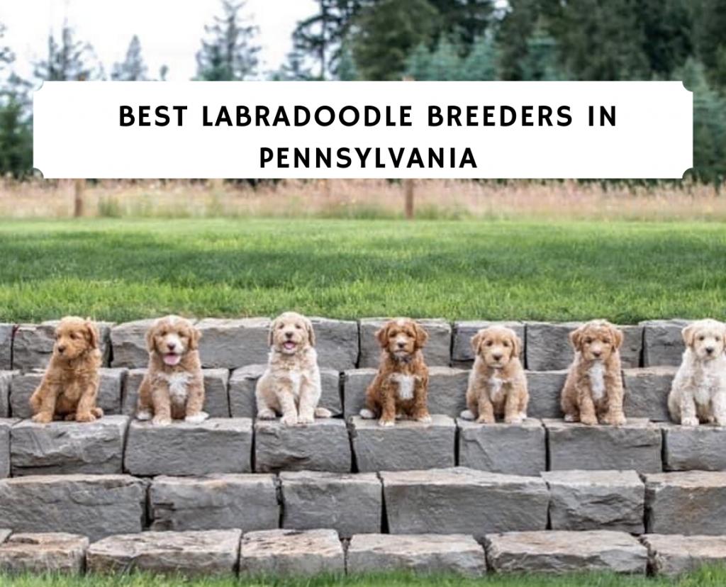 Best Labradoodle Breeders in Pennsylvania