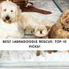 Best Labradoodle Rescue_ Top 10 Picks!