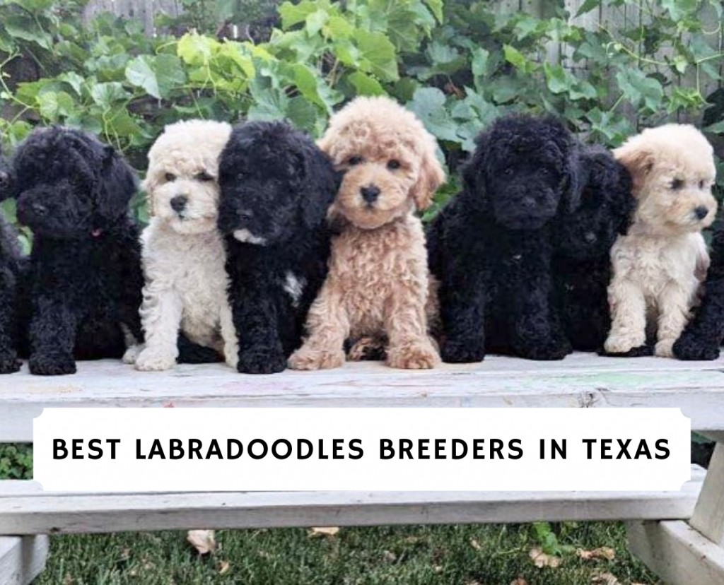 Best Labradoodles Breeders In Texas