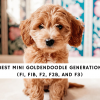 Best Mini Goldendoodle Generation (F1, F1B, F2, F2b, and f3)