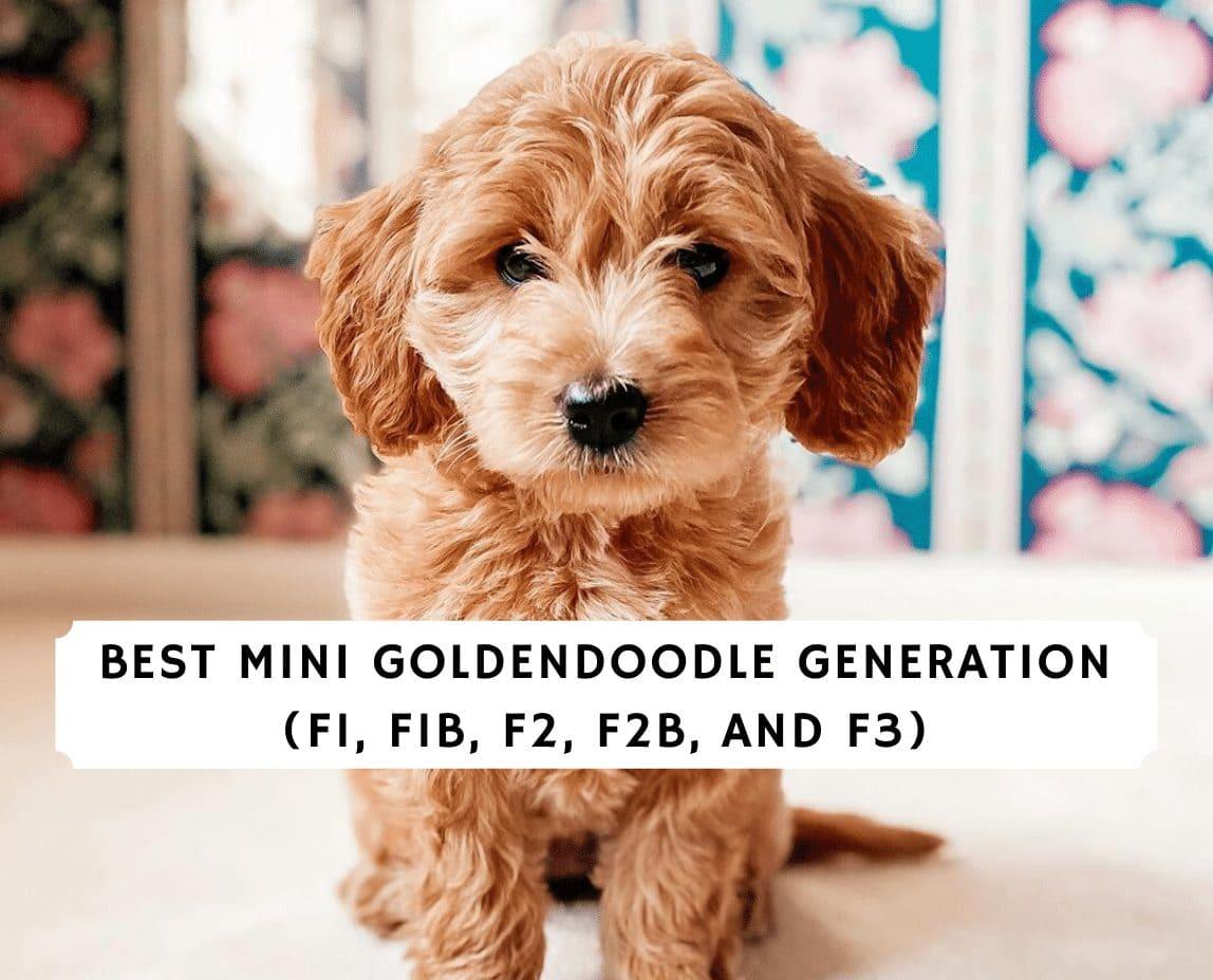 Best Mini Goldendoodle Generation F1 F1b F2 F2b F3 We Love Doodles