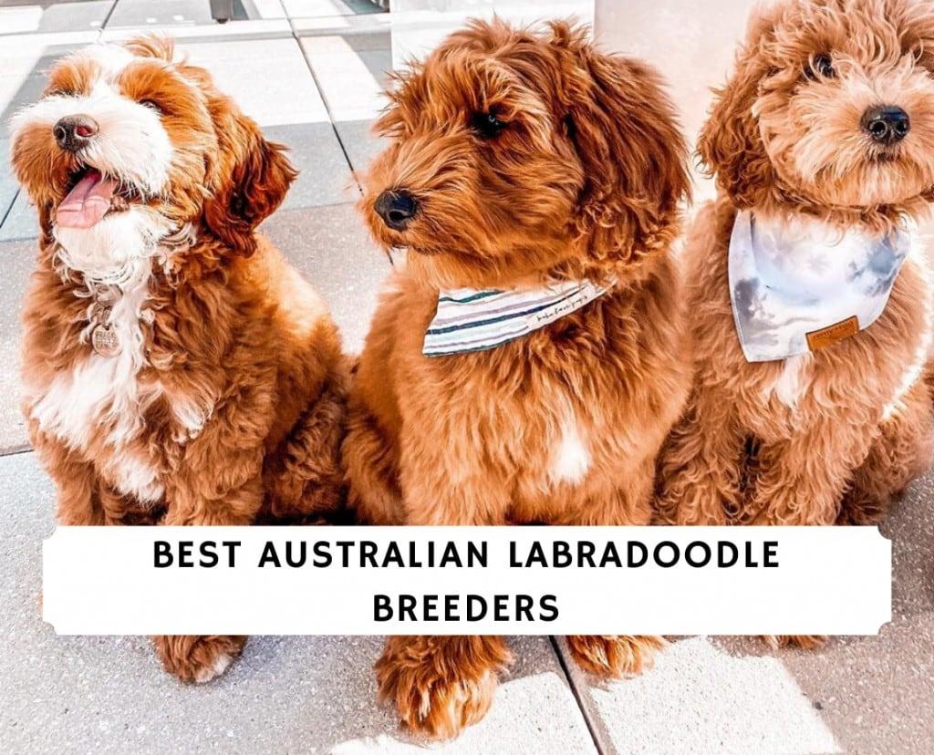 Best australian labradoodle breeders