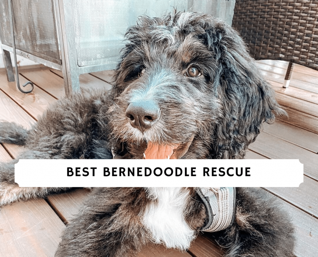 Best bernedoodle Rescue