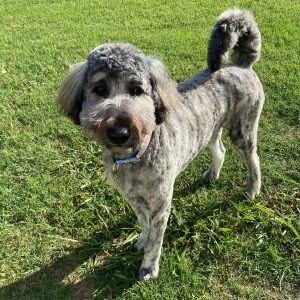 Carolina Labradoodle Rescue in north carolina