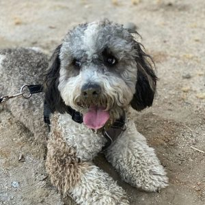 Doodle Rescue Collective bernedoodle rescue