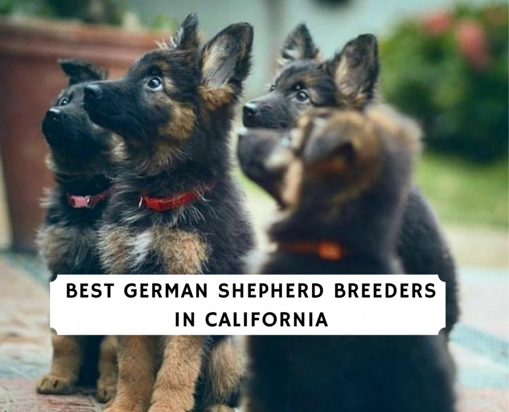 German-Shepherd-Breeders-in-California