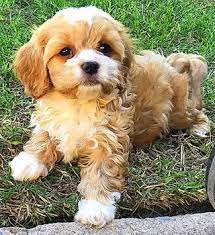 Golden Heart Doodles Cavapoo Puppies