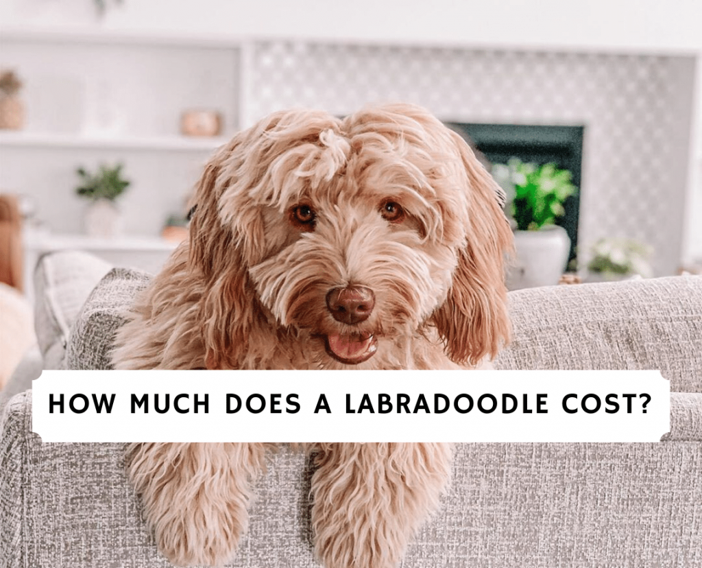 How Much Does a Labradoodle Cost_