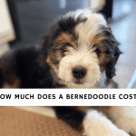 How Much Does a bernedoodle Cost_