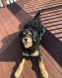IDOG rescue and rehome for bernedoodles