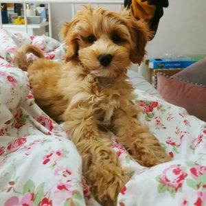Maple Lane Australian Labradoodles pa