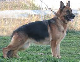 Nadelhaus German Shepherd Breeders