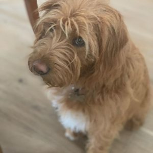 NorCal Poodle Rescue Labradoodle in California