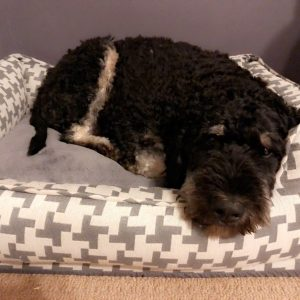 Pet Finder Bernedoodle adoption and rescue