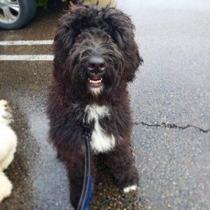Poodle and Pooch Bernedoodle Rescue