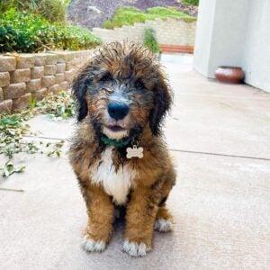 PuppySpot Bernedoodles