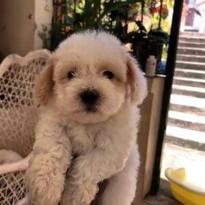 PuppySpot Maltipoos Texas