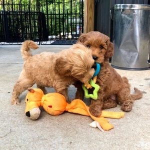 Spring Valley Labradoodles breeders in PA