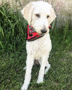Sugar Pine Doodles Labradoodle puppies for adoption