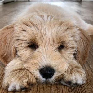 Wickersham Farm Labradoodle breeder PA