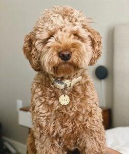 austin labradoodles puppy breeder in texas