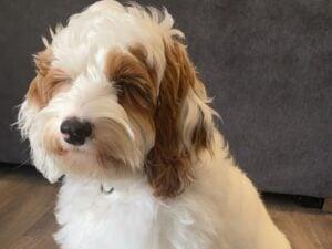 australian labradoodle puppies for sale