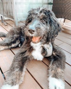 bernedoodle rescue and adoption picture