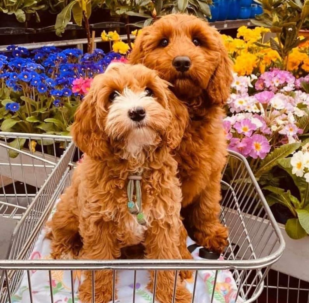 Best Labradoodle Breeders In New Jersey Nj Top 5 We Love Doodles