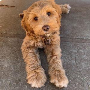 brookside labradoodle puppies california