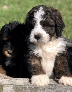 buckeye ridge bernedoodle breeders in ohio