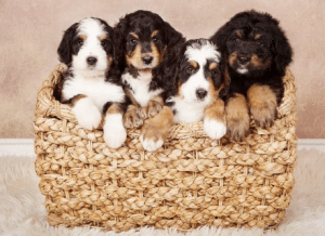 cedar creek bernedoodle breeders in northern california