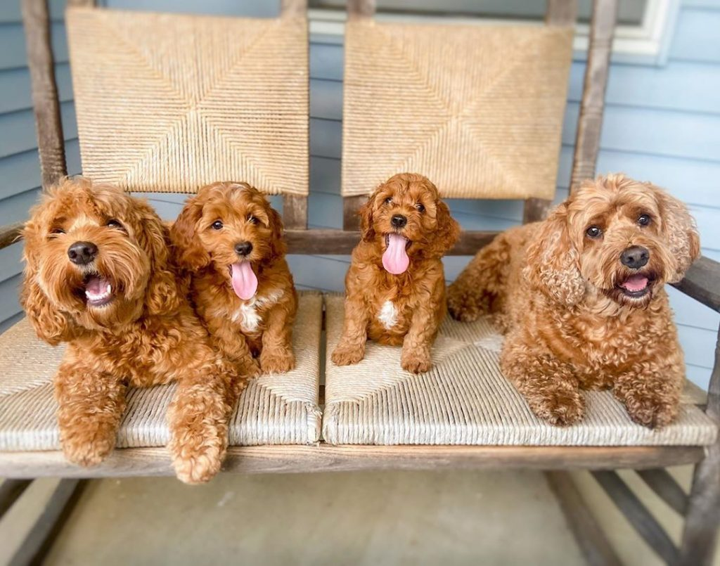cockapoo breeders california