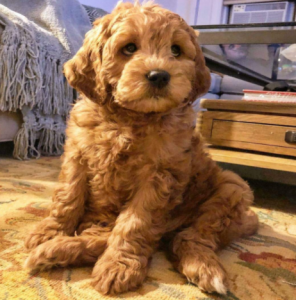 cream puff labradoodle puppies new jersey