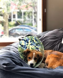 dog cone to prevent itching from yeast infection