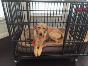 golden retriever in heavy duty dog crate