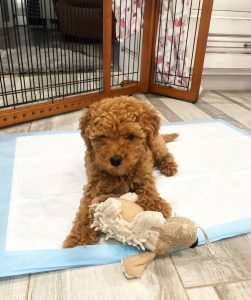 goldendoodle dog toys