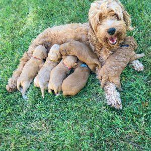 goldendoodle puppies indiana