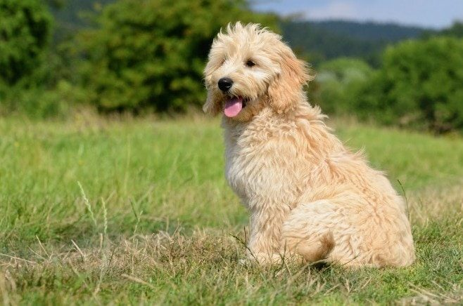 grooming-goldendoodles