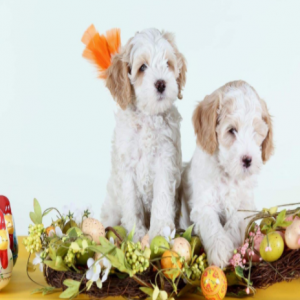 labradoodle puppies in new jersey