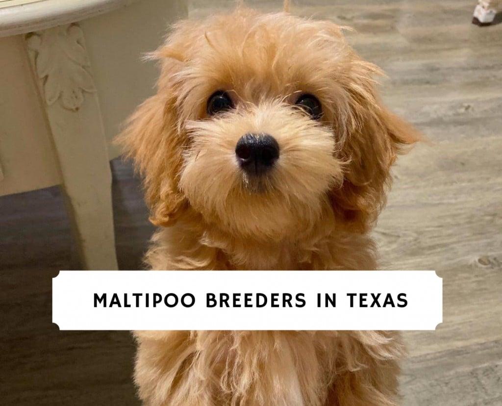 maltipoo breeders in texas