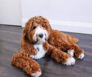 nutritional requirements for a goldendoodle